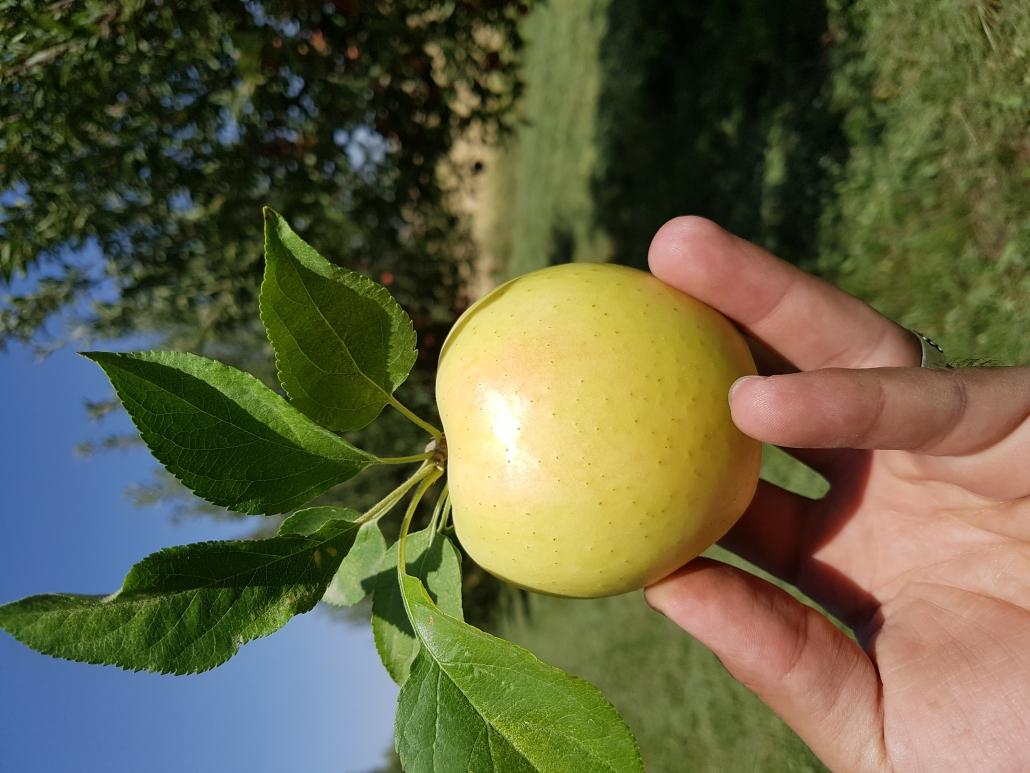 نهال سیب سفید تاج نهال