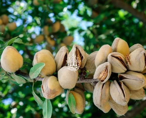 بادام خوشه ای مامایی
