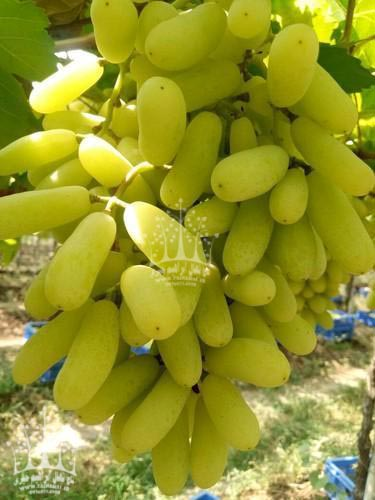 انگور حسینی