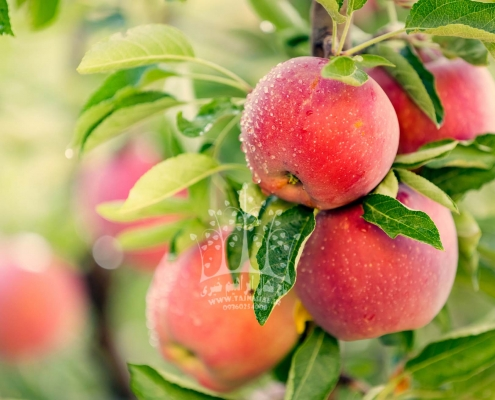 نهال سیب زرد و سرخ پائیزه