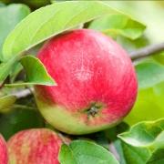 خرید نهال سیب گلاب